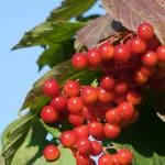Wie gefährlich ist es, wild wachsende Beeren zu essen?