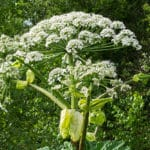 Die Top 10 der häufigsten Giftpflanzen im Garten erkennen!