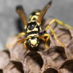 Wespenstiche – auch für Nichtallergiker droht Gefahr