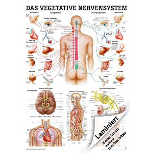 Vegetatives Nervensystem Mini-Poster Anatomie 34x24 cm med. Lehrmittel