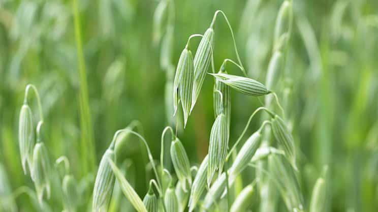 Saathafer: Arzneipflanze des Jahres 2017