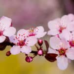 Lässt der Duft von Blüten den Krebs verschwinden?