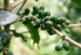 Green Coffee – Wundermittel für die Wunschfigur?
